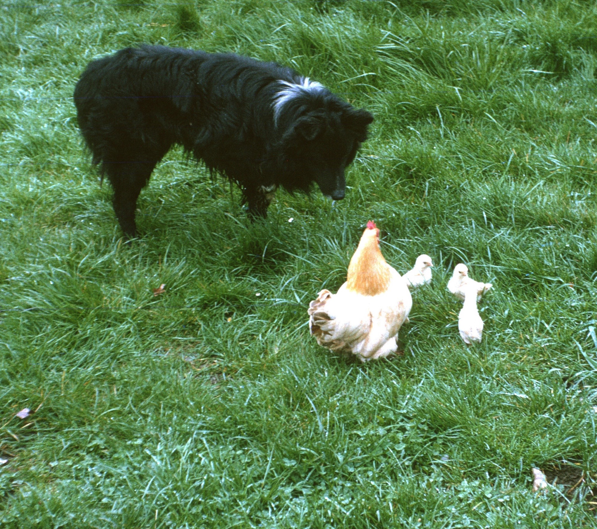 Border collee holding right foot high herding chickens